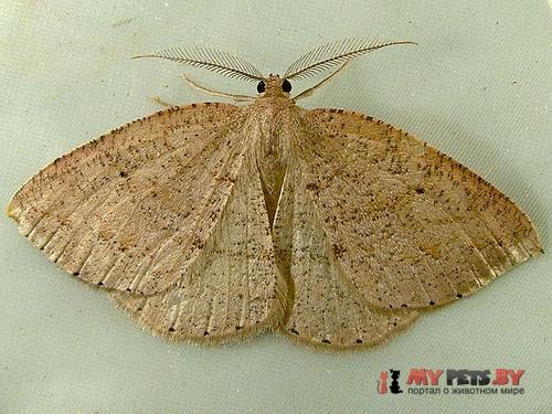 Drepanulatrix monicaria