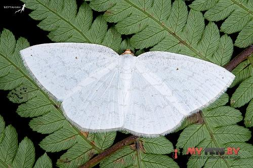 Orthocabera tinagmaria