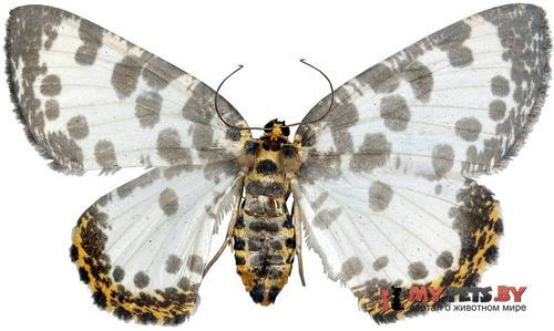 Euryobeidia languidata