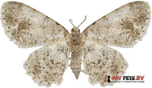 Myrioblephara flexilinea