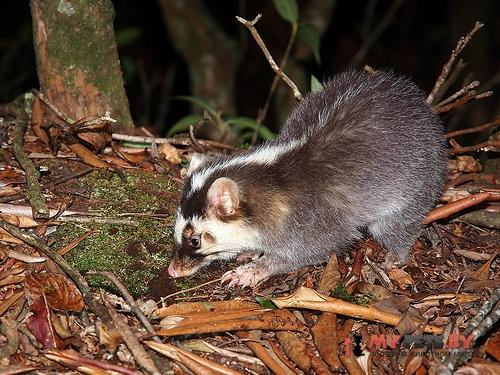 Chinese ferret-badger