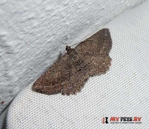 Nychiodes hispanica