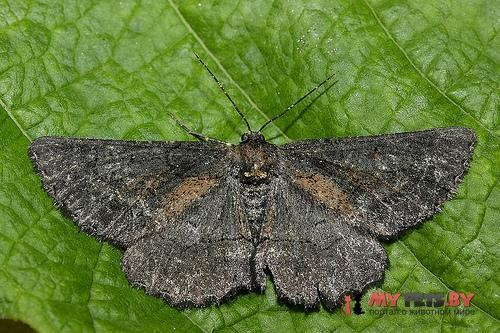 Nychiodes andalusiaria