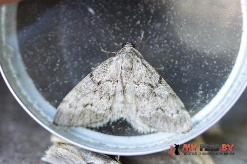 Tephronia cremiaria
