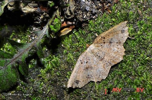 Ocoelophora lentiginosaria