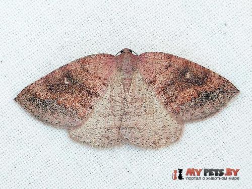 Drepanulatrix foeminaria