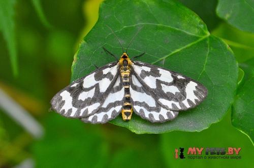 Cystidia couaggaria