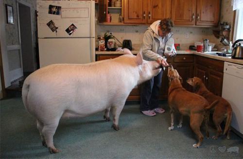 Esther-pig-13