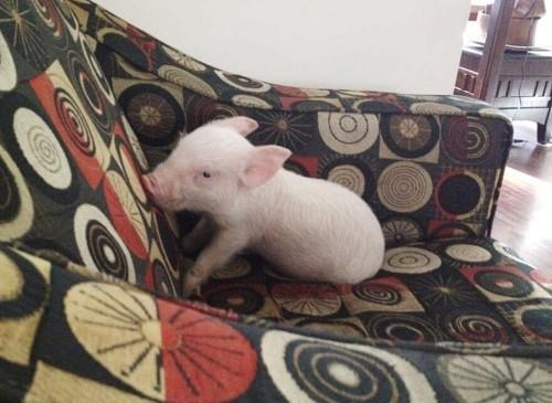 Esther-pig-14