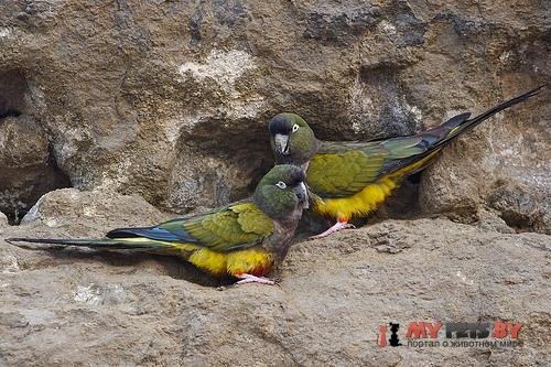 Патагонский попугай