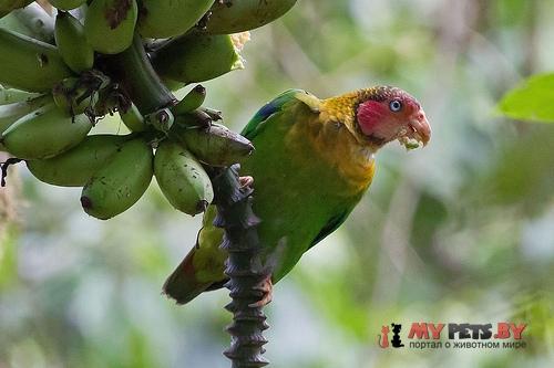 Украшенный попугай розовощёкий