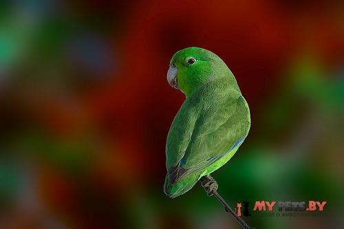 Воробьиный попугайчик синекрылый