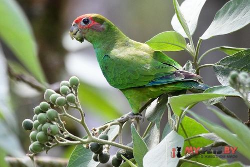 Украшенный попугай краснолобый