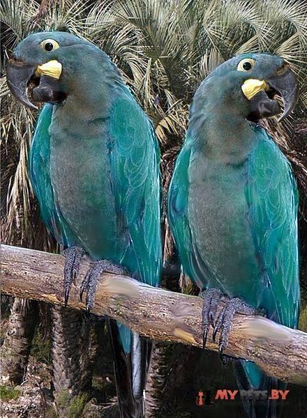 Ара гиацинтовый серо-голубой