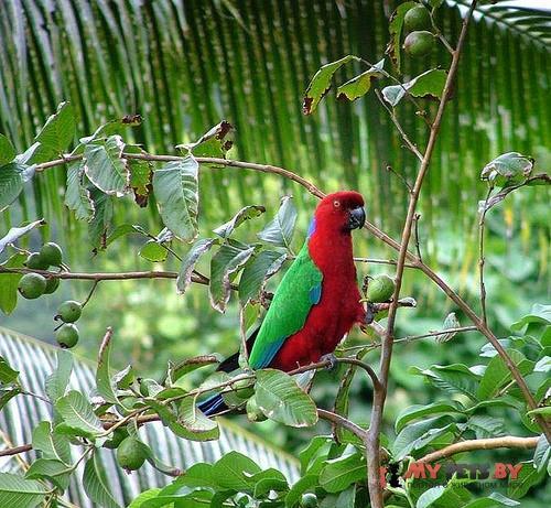 Блестящий попугай малиновый