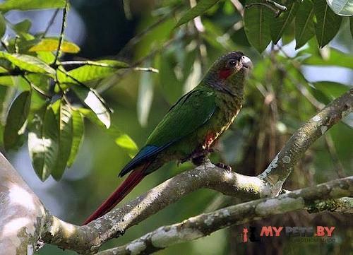 Краснохвостый попугай красноухий