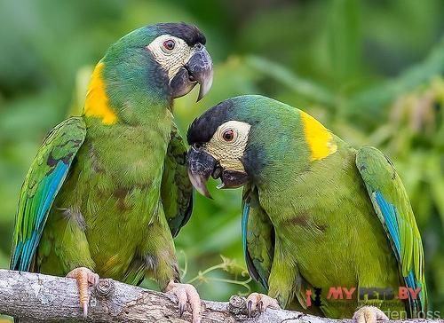 Желтошейный ара