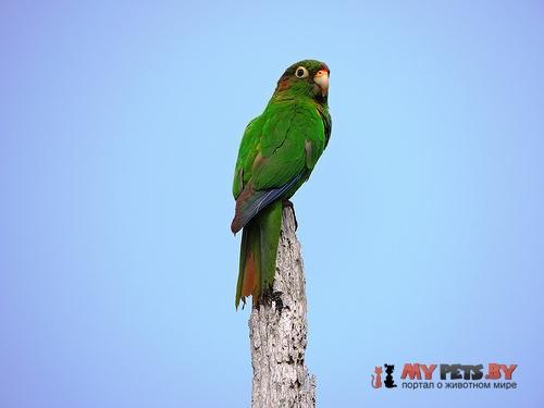 Краснохвостый попугай колумбийский
