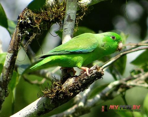 Воробьиный попугайчик зеленохвостый