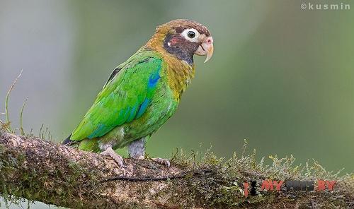 Украшенный попугай красноухий