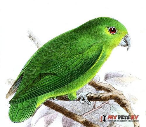 Зелёный воробьиный попугайчик