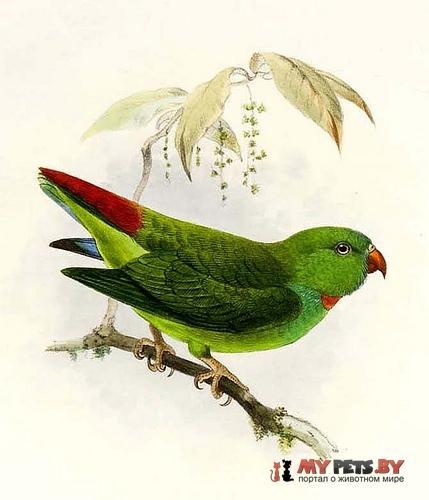 Висячий попугайчик сулавесский зелёный