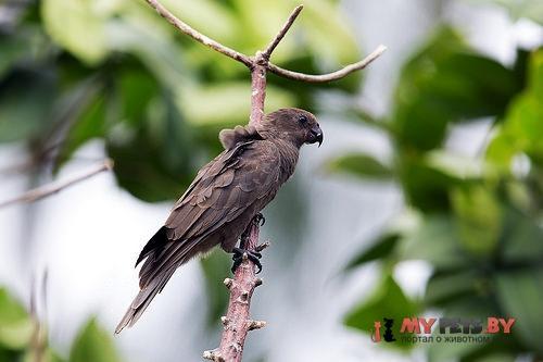 Попугай-ваза малый