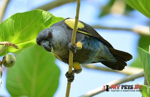 Длиннокрылый попугай Рюппеля