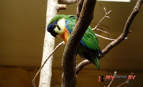 Фиговый попугайчик чернощёкий