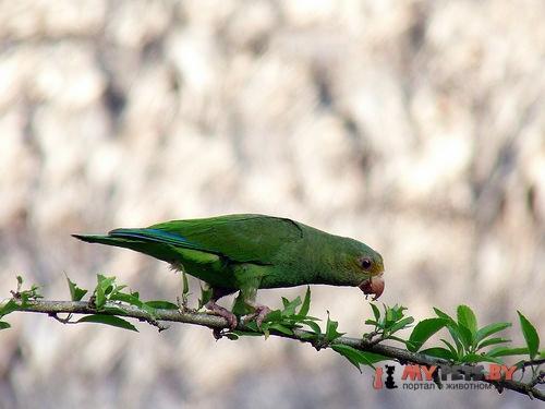 Тонкоклювый попугай синекрылый