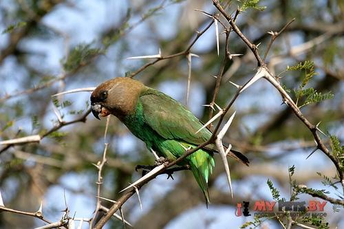 Длиннокрылый попугай буроголовый