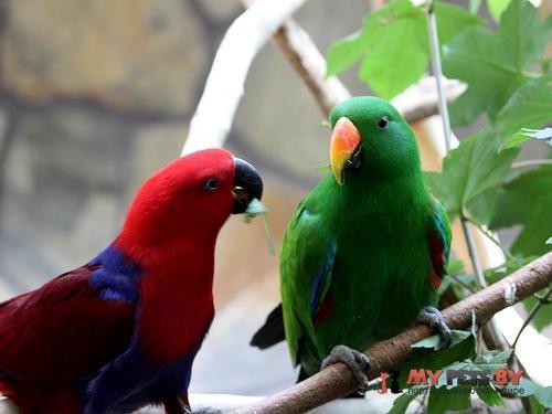 Благородный попугай зелёно-красный