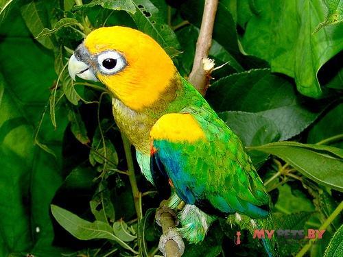 Украшенный попугай златоголовый