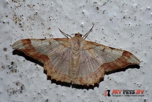 Zeheba aureatoides
