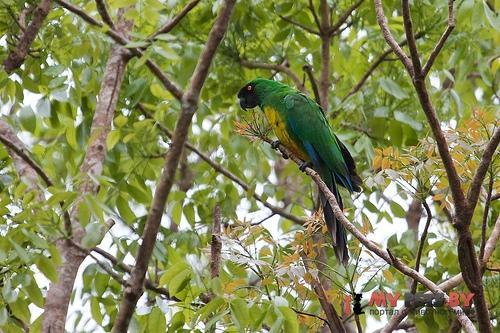 Блестящий попугай масковый