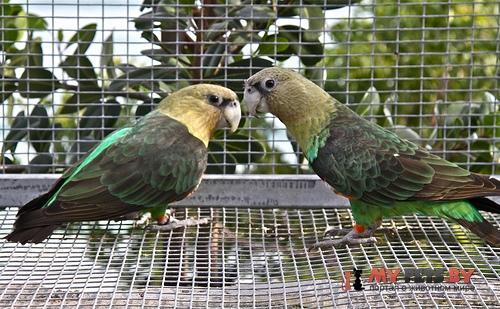 Длиннокрылый попугай капский