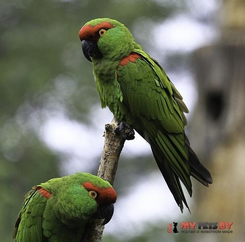 Толстоклювый попугай