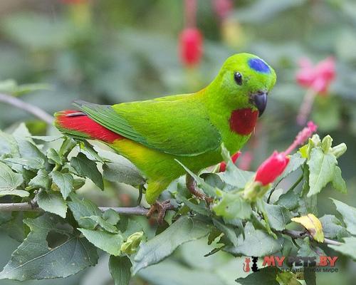 Висячий попугайчик синеголовый