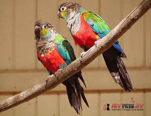 Краснохвостый попугай краснобрюхий
