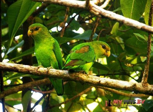 Пестрохвостый попугай желтохвостый