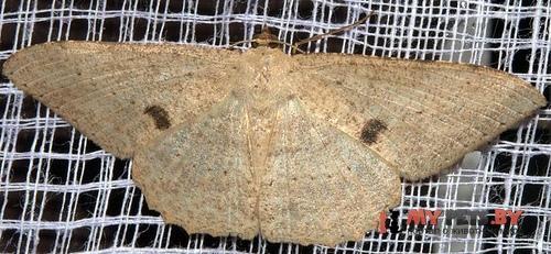 Luxiaria tephrosaria