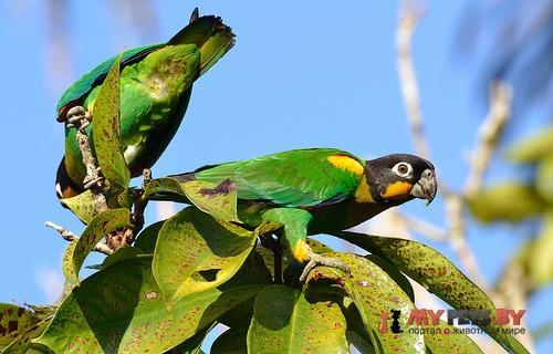Украшенный попугай златощёкий