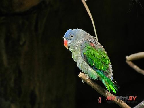 Красноплечий попугай