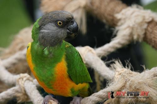 Длиннокрылый попугай сенегальский