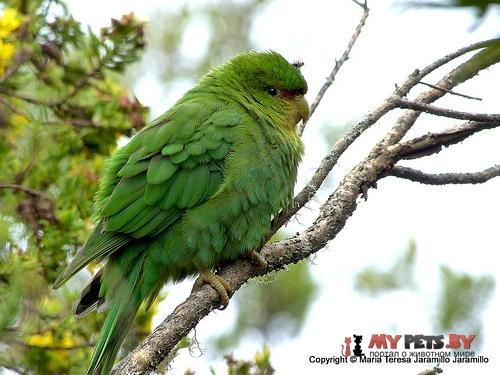 Толстоклювый попугай краснолобый