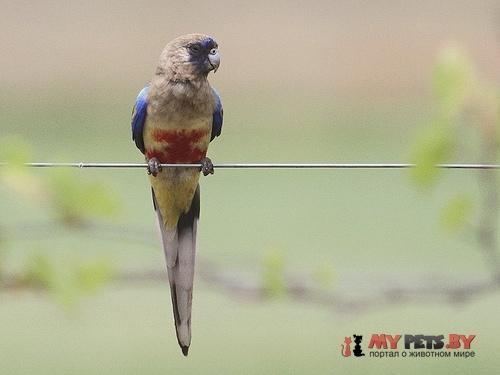 Кровавобрюхий краснохвостый попугай