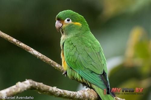 Андский высокогорный попугай