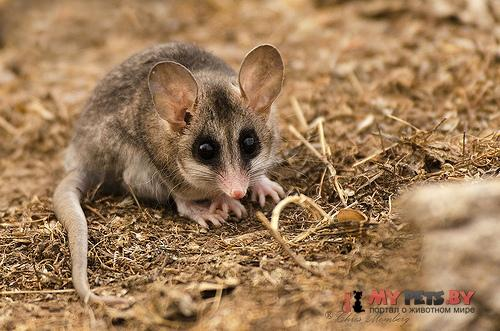 Elegant fat-tailed mouse opossum