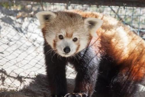 1430059246_20150423__red-panda-denver-zoop1
