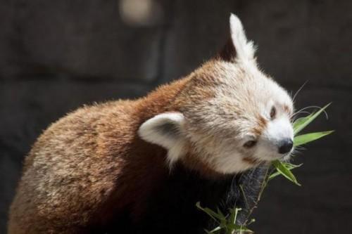 1430059302_20150423__denver-zoo-red-panda-eatingp1
